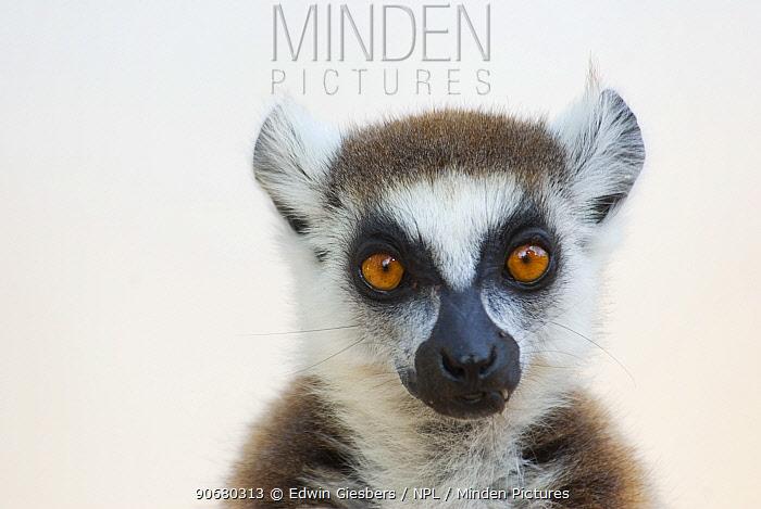 Ring-tailed lemur (Lemur catta) portrait, Berenty Reserve, Madagascar, Madagascar  -  Edwin Giesbers/ npl