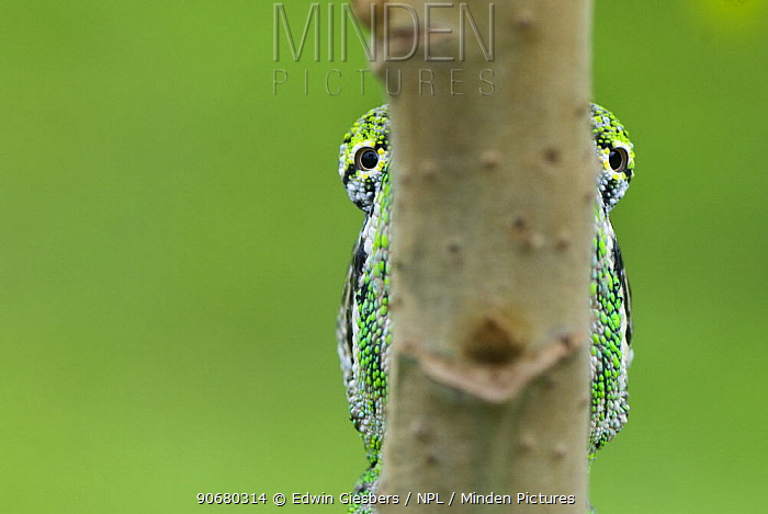 Oustalet's chameleon (Furcifer oustaleti) eyes visible either side of the branch it is on, Madagascar  -  Edwin Giesbers/ npl