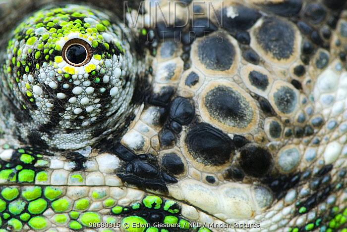 Oustalet's chameleon (Furcifer oustaleti) close-up of eye, Madagascar  -  Edwin Giesbers/ npl