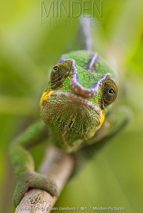 Panther chameleon (Furcifer pardalis) walking along branch, Madagascar  -  Edwin Giesbers/ npl