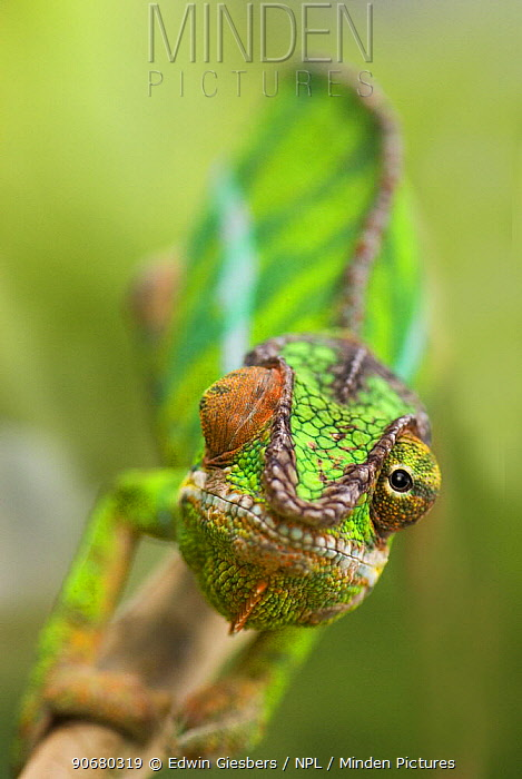 Panther chameleon (Furcifer pardalis) with eyes facing different direction, Madagascar  -  Edwin Giesbers/ npl