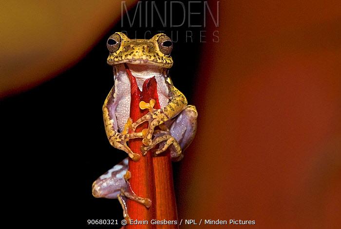Frog (Boophis idae) on Heliconia flower, Madagascar  -  Edwin Giesbers/ npl