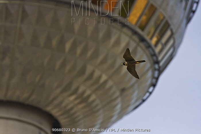 Peregrine falcon (Falco peregrinus) adult female flying against the TV tower of Alexanderplatz in the center of Berlin, Germany  -  Bruno D'amicis/ npl