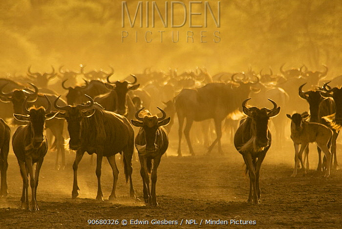 Wildebeest (Connochaetes taurinus) herd, Tanzania  -  Edwin Giesbers/ npl