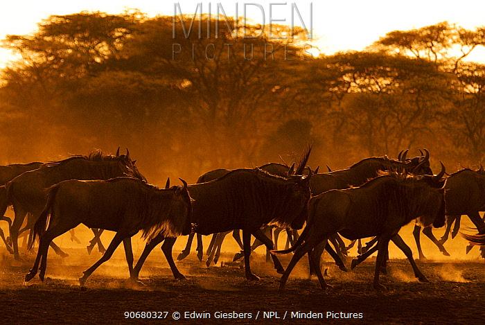 Wildebeest (Connochaetes taurinus) running, Tanzania  -  Edwin Giesbers/ npl