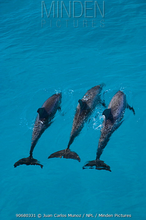 Looking down on Atlantic spotted dolphin (Stenella frontalis) at surface, Bahamas, Caribbean  -  Juan Carlos Munoz/ npl
