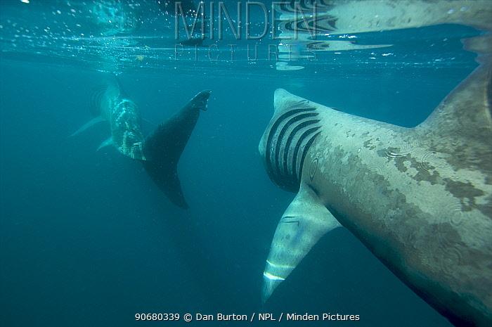 Basking shark feeding off the Cornish coastline Cornwall, UK  -  Dan Burton/ npl