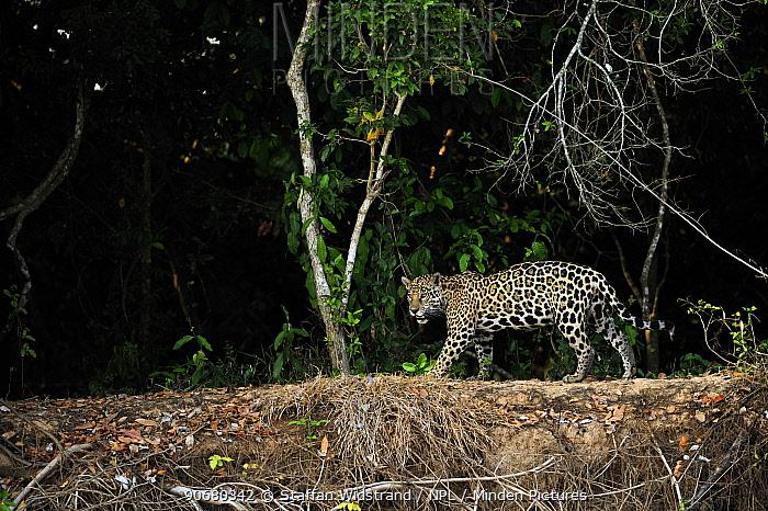 Wild Jaguar (Panthera onca) walking beside river, Pantanal, Brazil, September  -  Staffan Widstrand/ npl