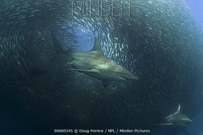Copper sharks, Bronze whaler (Carcharhinus brachyurus) feeding on a baitball of Sardines, Pilchards (Sardinops sagax) during the annual Sardine Run off the east coast of South Africa at Mboyti, Transkei or Wild Coast (Indian Ocean)  -  Doug Perrine/ npl