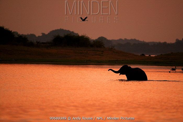 Asian elephant (Elaphus maximus) in lake at sunrise, Minneria NP, Sri Lanka  -  Andy Rouse/ npl