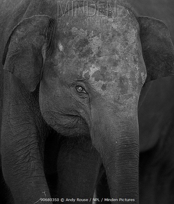 Asian elephant (Elaphus maximus) portrait, Minneria NP, Sri Lanka  -  Andy Rouse/ npl