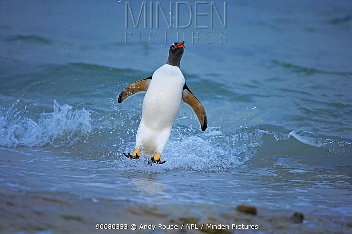 Gentoo penguin (Pygoscelis papua) surfing, jumping ashore, Falkland Islands  -  Andy Rouse/ npl