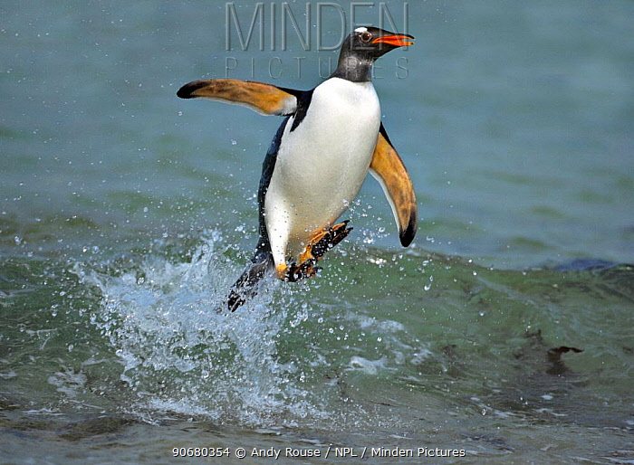 Gentoo penguin (Pygoscelis papua) surfing, jumping out of the sea, Falkland Islands  -  Andy Rouse/ npl