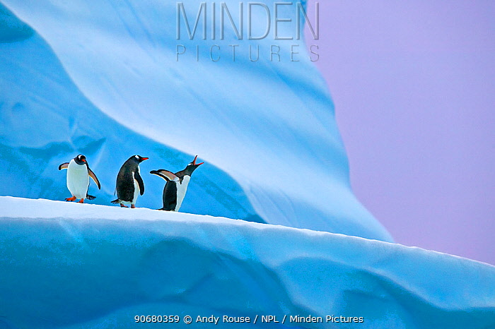 Gentoo penguin (Pygoscelis papua) group on iceberg, Mikkelsen Harbour, Antarctica Not available for ringtone, wallpaper use  -  Andy Rouse/ npl