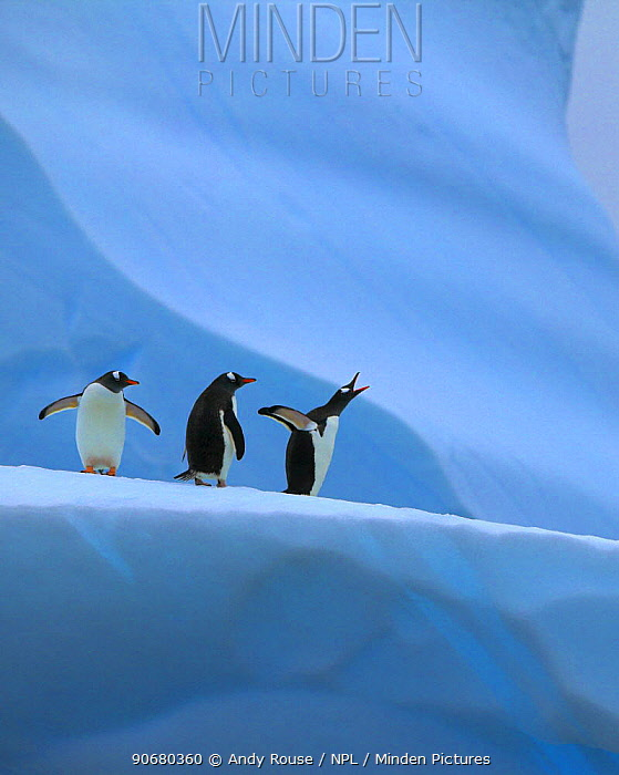 Gentoo penguin (Pygoscelis papua) group on iceberg, one calling, Mikkelsen Harbour, Antarctica  -  Andy Rouse/ npl