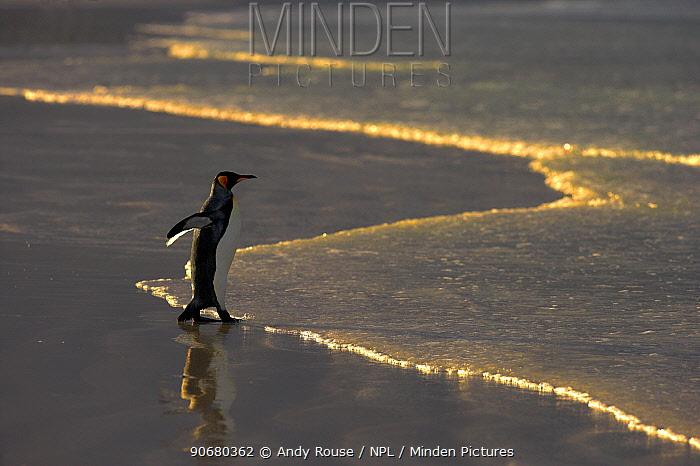 King penguin (Aptenodytes patagonicus) walking into sea, Falkland Islands  -  Andy Rouse/ npl