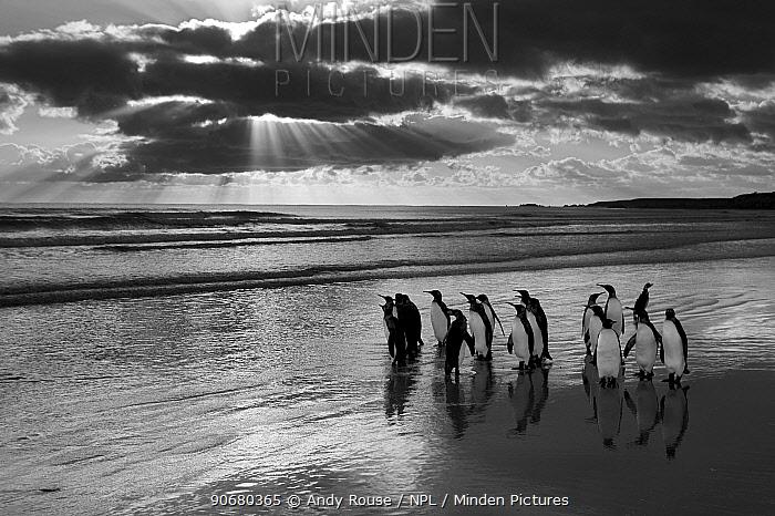 King penguin (Aptenodytes patagonicus) group on beach at sunrise, Falkland Islands  -  Andy Rouse/ npl