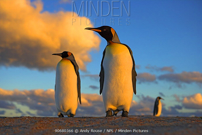 King penguin (Aptenodytes patagonicus) pair at sunset, Falkland Islands  -  Andy Rouse/ npl