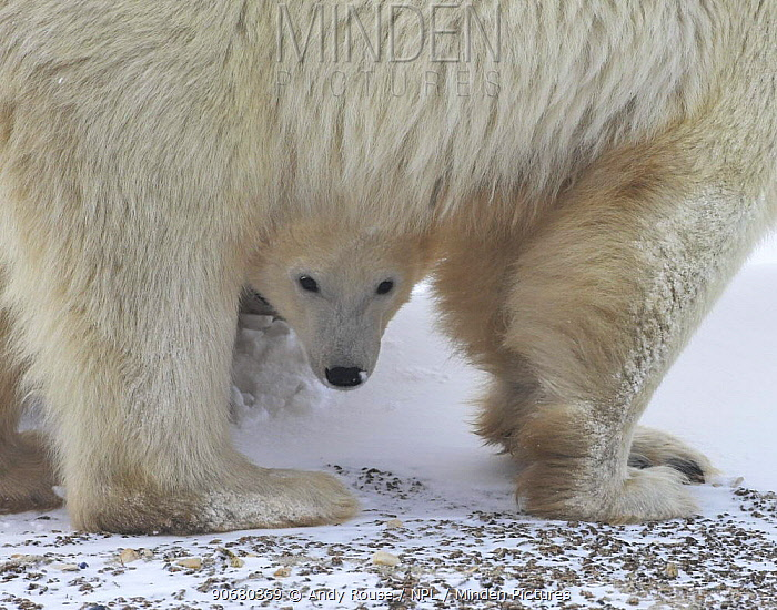 Polar bear (Ursus maritimus) cub peering out from underneath mother, Canada  -  Andy Rouse/ npl