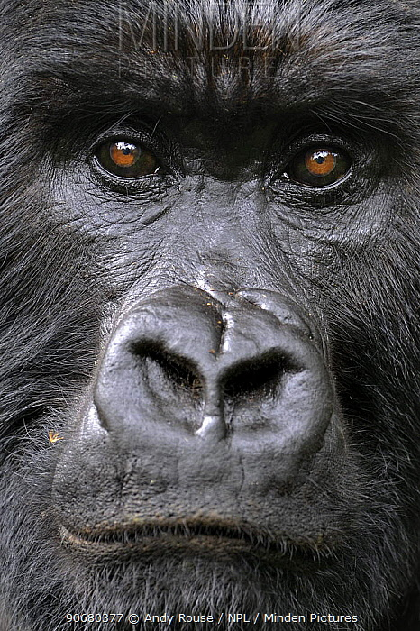 Mountain gorilla (Gorilla beringei beringei) silverback, face portrait, Volcanoes NP, Virunga mountains, Rwanda  -  Andy Rouse/ npl