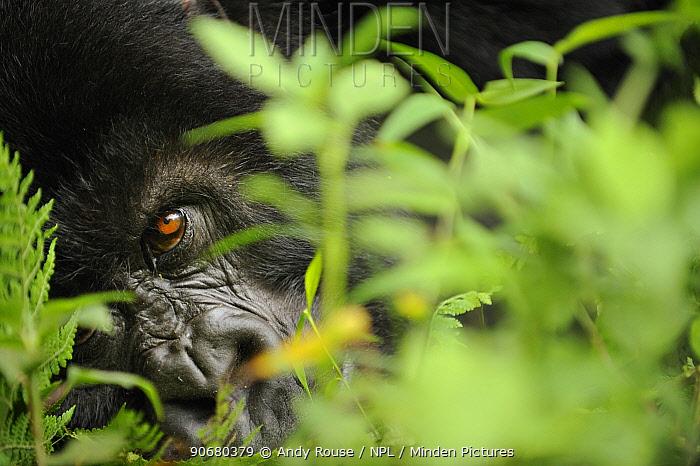 Mountain gorilla (Gorilla beringei beringei) close up of eye, Volcanoes NP, Virunga mountains, Rwanda  -  Andy Rouse/ npl