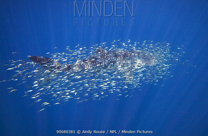 Whale shark (Rhincodon typus) surrounded by other smaller fish, Ningaloo Reef, Western Australia  -  Andy Rouse/ npl