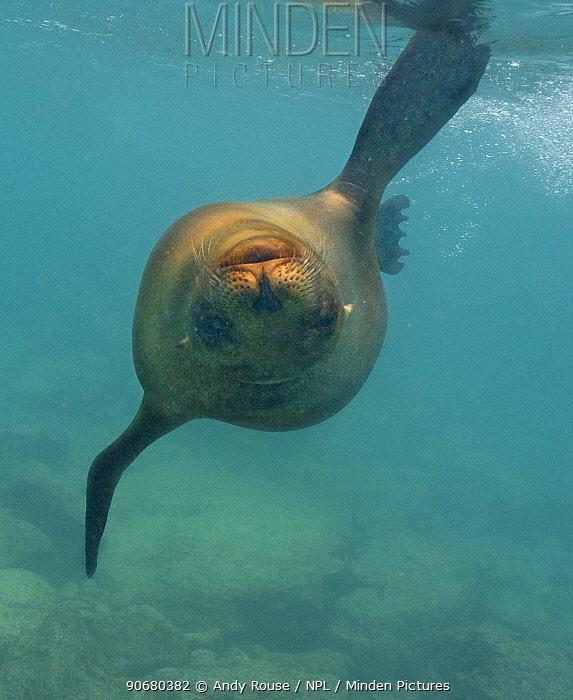 Galapagos sealion (Zalophus californianus wollebaeki) swimming underwater, upside down, Galapagos  -  Andy Rouse/ npl