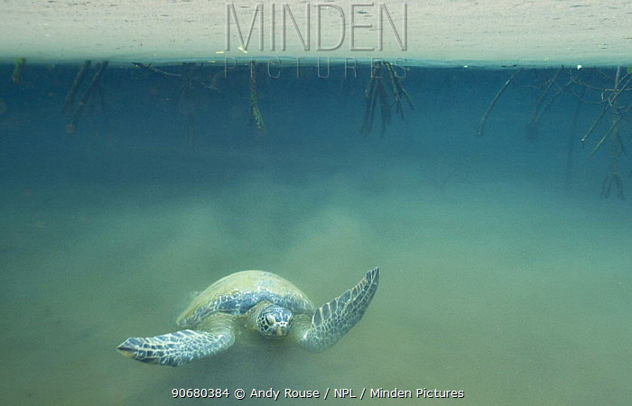 Galapagos green turtle (Chelonia mydas agassisi) swimming in murky water of mangrove forest, Galapagos  -  Andy Rouse/ npl