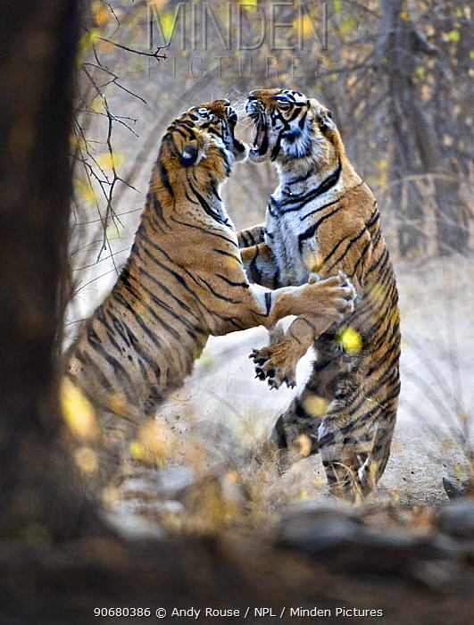 Bengal tiger (Panthera tigris tigris) female fighting with 18 months cub, Ranthambore NP, Rajasthan, India They fight when it is time for the cubs to move on and find their own territory  -  Andy Rouse/ npl