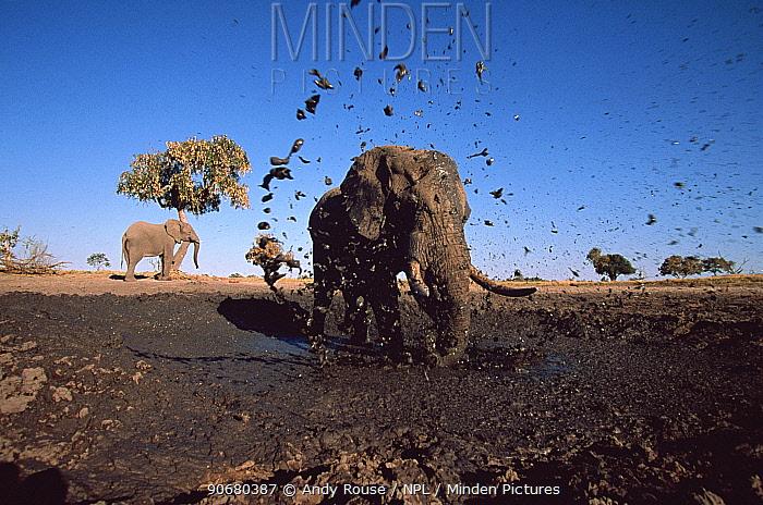 African elephant (Loxodonta africana) bull spraying mud at camera, Savute, Botswana  -  Andy Rouse/ npl