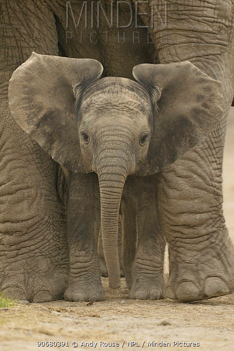 African elephant (Loxodonta africana) baby standing between legs of mother, captive, Knowsley Safari Park, UK (non-ex)  -  Andy Rouse/ npl