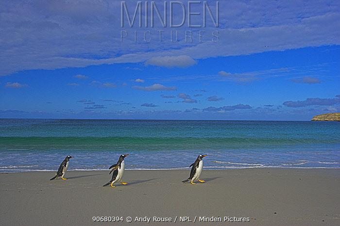 Gentoo penguins (Pygoscelis papus papus) walking along beach, Falkland Islands (non-ex)  -  Andy Rouse/ npl