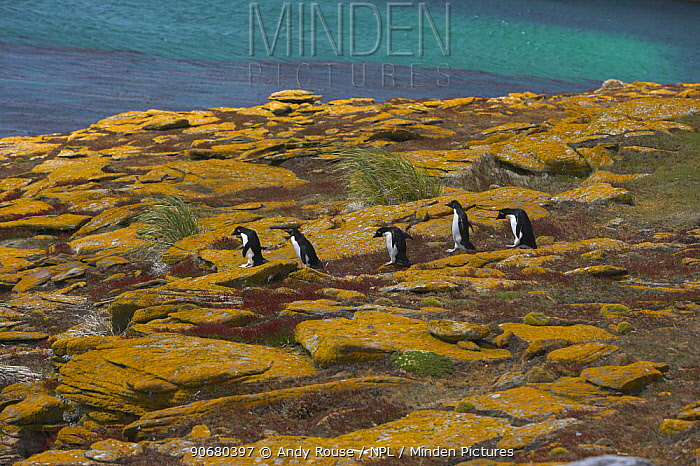 Rockhopper penguin (Eudyptes chrysocome) group walking from colony to sea, Falkland Islands (non-ex)  -  Andy Rouse/ npl