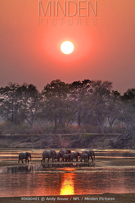 African elephant (Loxodonta africana) breeding herd crossing river at sunset, South Luangwa, Zambia (non-ex)  -  Andy Rouse/ npl