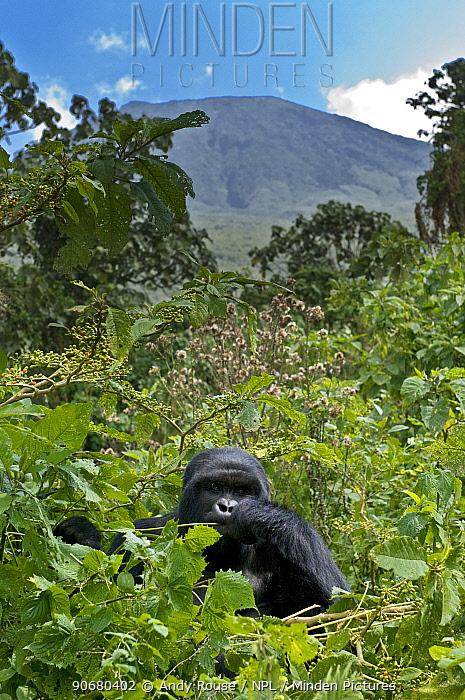 Mountain gorilla (Gorilla beringei) blackback male in rainforest, in front of Sabinyo volcano, Volcanoes NP, Virunga mountains, Rwanda (non-ex)  -  Andy Rouse/ npl