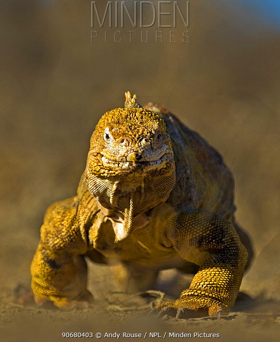 Galapagos land iguana (Conolophus subcristatus) walking, Urbina Bay, Isabela Island, Galapagos (non-ex)  -  Andy Rouse/ npl