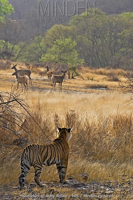 Bengal tiger (Panthera tigris tigris) female stalking Sambar deer, Ranthambore NP, Rajasthan, India (non-ex)  -  Andy Rouse/ npl