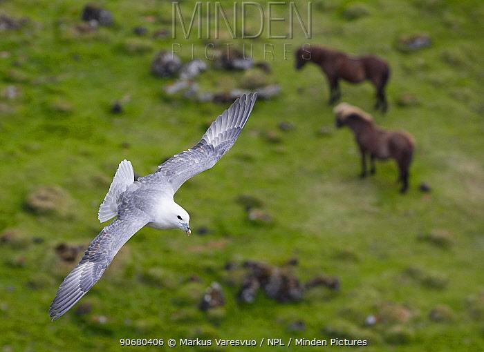 Fulmar (Fulmarus glacialis) flying over Icelandic ponies, Iceland, June  -  Markus Varesvuo/ npl