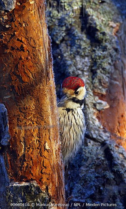 White-backed woodpecker (Dendrocopos leucotos) male in tree, Kotka, Finland, January  -  Markus Varesvuo/ npl