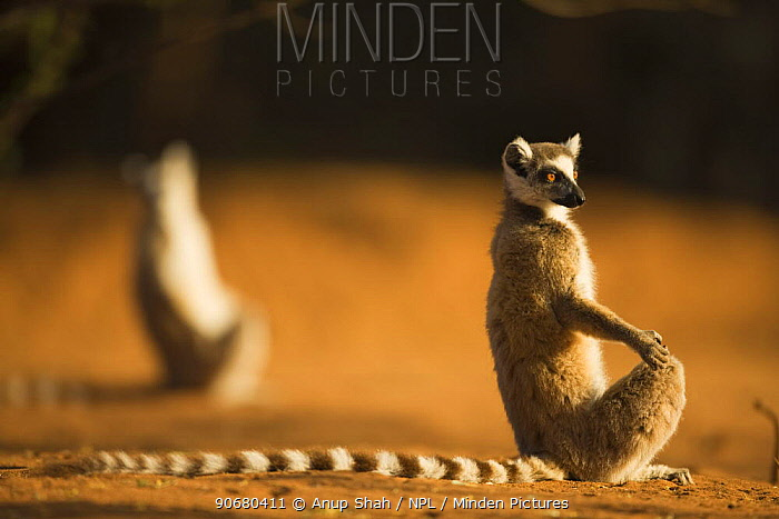 Ring-tailed Lemur (Lemur catta) 'sunning' in the early morning light to warm themselves Berenty Private Reserve, Madagascar Oct 2008  -  Anup Shah/ npl