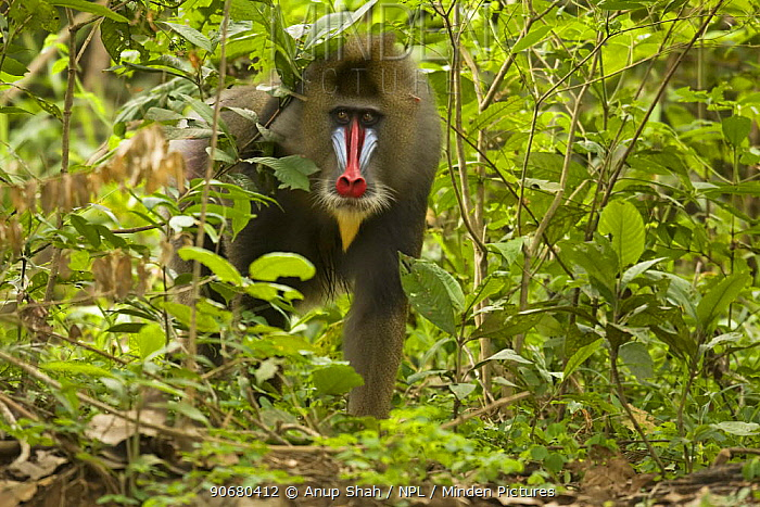 Mature Male wild Mandrill (Mandrillus sphinx) walking through gallery forest during dry season Lope National Park, Gabon July 2008  -  Anup Shah/ npl