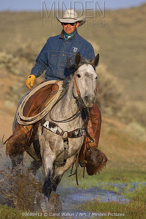 Cowboy running horse through water at Sombrero Ranch, Craig, Colorado, USA Model released  -  Carol Walker/ npl
