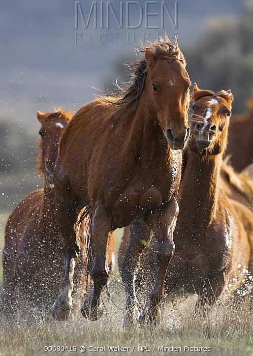 Horses running through water at Sombrero Ranch, Craig, Colorado, USA  -  Carol Walker/ npl