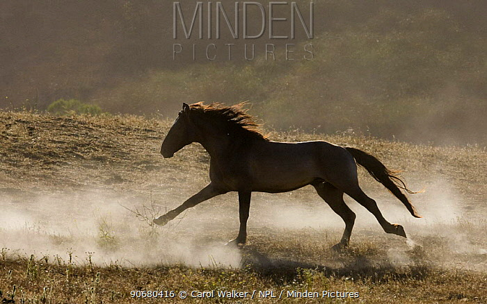 Grulla Mustang stallion running in dust at Return to Freedom Sanctuary, Lompoc, California, USA  -  Carol Walker/ npl
