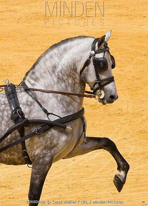 Purebred grey Andulasian stallion carriage horse, high trotting, Carriages Exhibition, Seville, Spain  -  Carol Walker/ npl