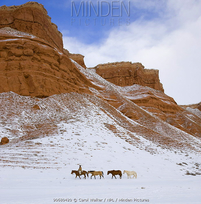 Cowboy leading Quarter horses pack train in the snow at Flitner Ranch, Shell, Wyoming, USA Model released  -  Carol Walker/ npl