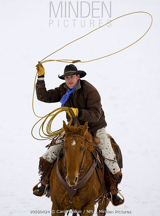Cowboy riding in snow throwing a loop, Flitner Ranch, Shell, Wyoming, USA Model released  -  Carol Walker/ npl
