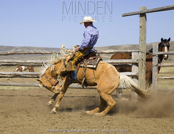 Cowboy riding bucking palomino horse, Sombrero Ranch, Craig, Colorado, USA Model released  -  Carol Walker/ npl