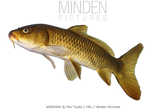 Common carp (Cyprinus carpio) portrait, captive, Surrey, England  -  Kim Taylor/ npl