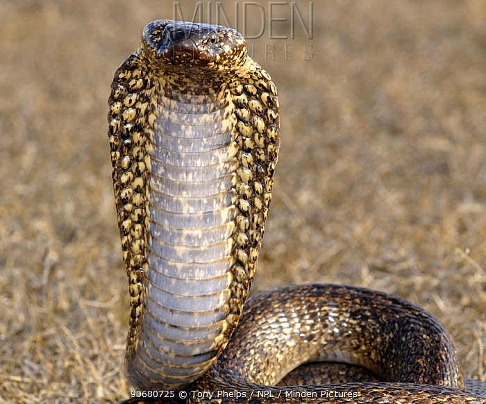 Male Cape cobra snake (Naja nivea) dark speckled variety, De Hoop Nature reserve, Western Cape, South Africa  -  Tony Phelps/ npl